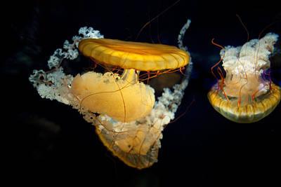 Photograph - Jellyfish by John Magyar Photography