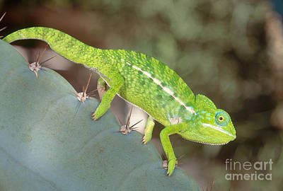 Photograph - Jewel Chameleon by Art Wolfe