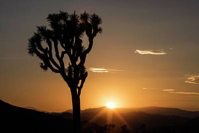Joshua Tree (yucca Brevifolia) At Sunset Art Print