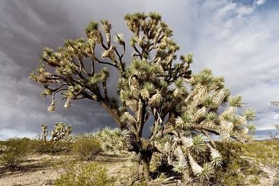 Joshua Trees (yucca Brevifolia) Art Print