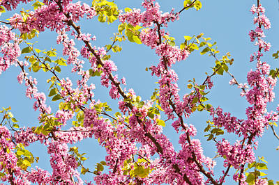 Bosphorous Photograph - Judas Tree Flower And Leaves by Leyla Ismet