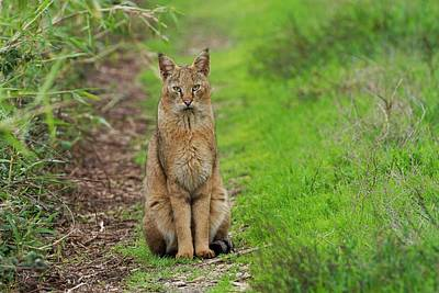 Jungle Cat (felis Chaus) In The Wild Art Print by Photostock-israel