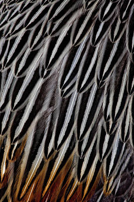 Cock Photograph - Jungle Cock Feathers by Darrell Gulin