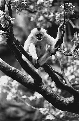 Gibbon Photograph - Just Hanging Out by Retro Images Archive