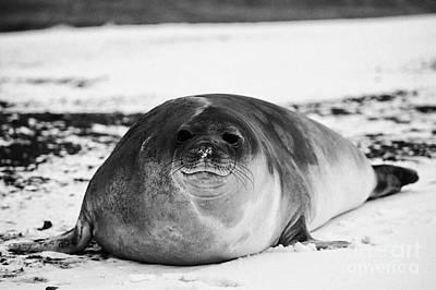 juvenile 2 year old elephant seal hannah point livingstone island Antarctica Art Print by Joe Fox