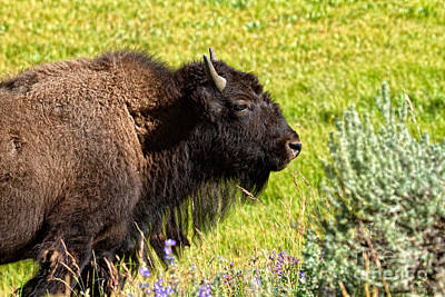 Photograph - Juvenile Bison by Stuart Gordon