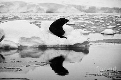 Fournier Photograph - juvenile fur seal looking straight to camera floating on iceberg in Fournier Bay Antarctica by Joe Fox