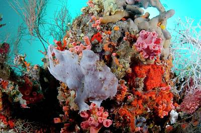 Ambush Photograph - Juvenile Giant Frogfish On Reef by Scubazoo