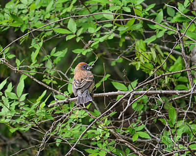 Photograph - Juvenile Male Blue Grosbeak by Jai Johnson