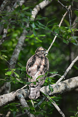 Buteo Lineatus Photograph - Juvenile Red Shouldered Hawk by Jai Johnson