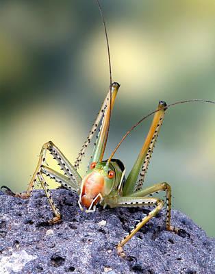 Robert Jensen Photograph - Katydid Cricket by Robert Jensen