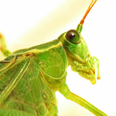 Photograph - Katydid by Walter Klockers