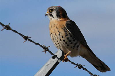 Photograph - Kestrel by Paul Marto