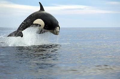 Killer Whale Photograph - Killer Whale Hunting by Christopher Swann