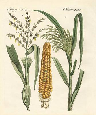 Mais Drawing - Kinds Of Corns by Splendid Art Prints