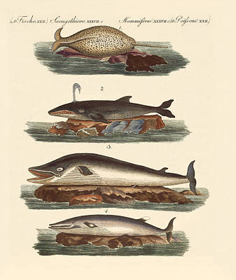 Razorback Drawing - Kinds Of Whales by Splendid Art Prints