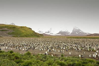 King Penguin Photograph - King Penguin Colony On Salisbury Plain by Ashley Cooper