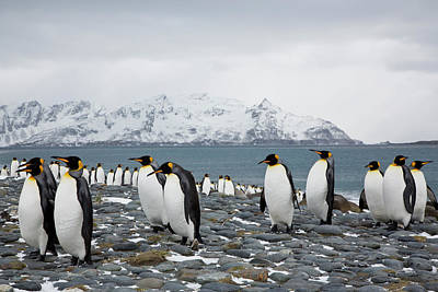 Birds In Winter Wall Art - Photograph - King Penguins Early Spring South Georgia by Darrell Gulin
