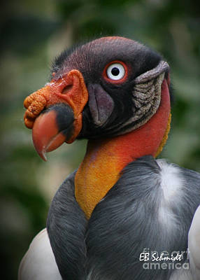 Photograph - King Vulture by E B Schmidt