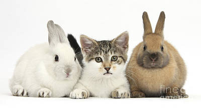 House Pet Photograph - Kitten And Baby Rabbits by Mark Taylor