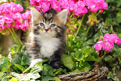 Photograph - Kitten In Flowers by John Daniels