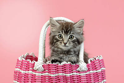 Painting - Kitten In Pink Basket by Greg Cuddiford