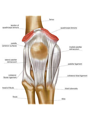 Human Joint Photograph - Knee Joint by Asklepios Medical Atlas