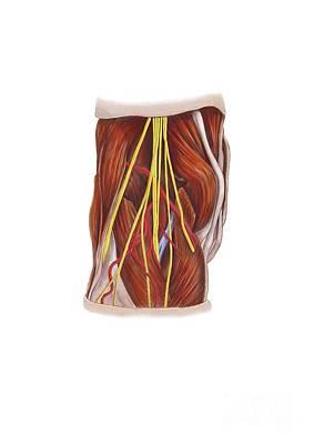 Knee Nerve Plexus, Artwork Art Print by D & L Graphics