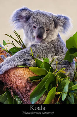 Digital Art - Koala by Chris Flees