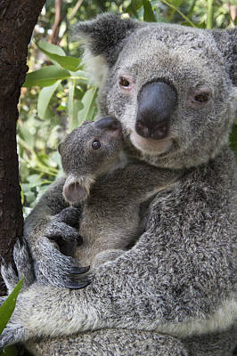 Photograph - Koala Mother And Joey Australia by Suzi Eszterhas