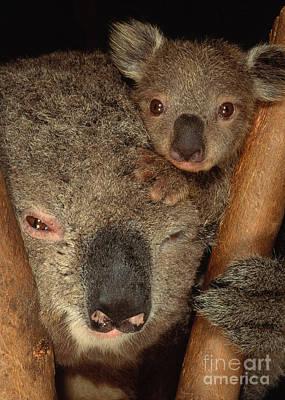 Australian Animal Photograph - Koala With Young by Art Wolfe
