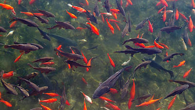 Huntsville Wall Art - Photograph - Koi And Carp In Big Spring Park by William Sutton