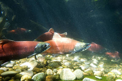 Kokanee Salmon Photograph - Kokanee Salmon by William H. Mullins