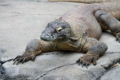Dragon Photograph - Komodo Dragon by Dan Sproul