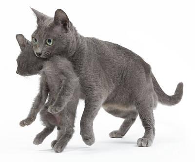 Pet Care Photograph - Korat Cat And Kitten by Jean-Michel Labat