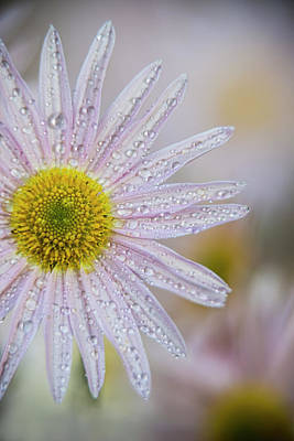 Moisture On Plants Photograph - Korean Chrysanthemum  Asteraceae , New by F. M. Kearney