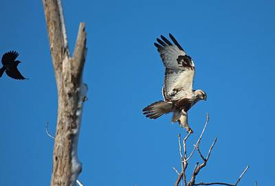 Photograph - Kriders Red-tailed Hawk by John Dart