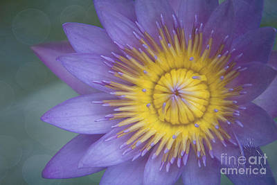 Photograph - La Fleur De Lotus  by Sharon Mau