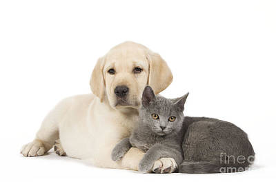 Mixed Labrador Retriever Photograph - Labrador Puppy With Chartreux Kitten by Jean-Michel Labat