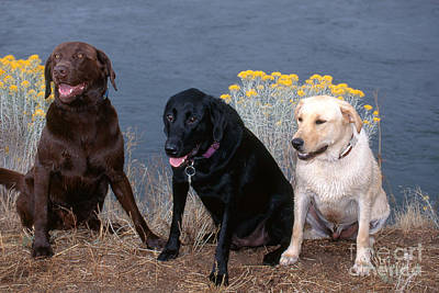 House Pet Photograph - Labrador Retrievers by William H. Mullins