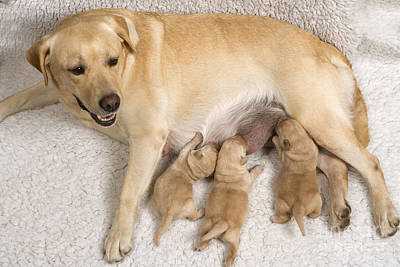 Pet Care Photograph - Labrador With Young Puppies by Jean-Michel Labat