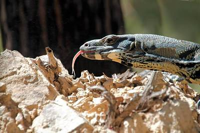 Photograph - Lace Monitor by David Rich