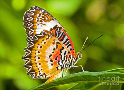 Photograph - Lacewing Butterfly  by Millard H Sharp