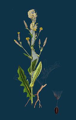 Prickly Drawing - Lactuca Scariola Prickly Lettuce by English School