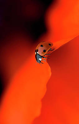 Ladybug Wall Art - Photograph - Lady In Red by Jacky Parker