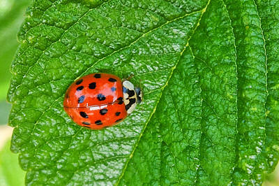 Photograph - Ladybird by Michele Wright