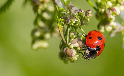 Photograph - Ladybug by Gary Gillette
