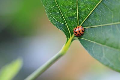 Photograph - Ladybug On A Leaf by Angela Murdock
