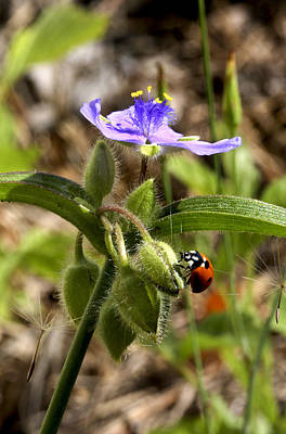 Photograph - Ladybug On Spiderwort by Robert Camp