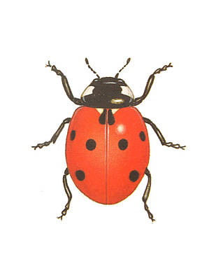 Ladybug Drawing - Ladybug by Pati Photography